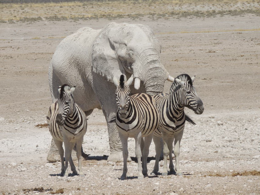 Big Elephant Etosha National Park